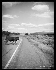 Cow crossing highway - New-Mexico  6 -1997