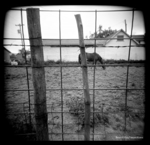 Horse grazing - Alpine TX  4-2004